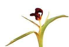 tulipanowy fiołek więdnął Zdjęcia Royalty Free