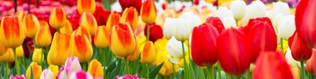 Tulipanowy flowerbed, czerwień, kolor żółty, biała panorama Obrazy Stock