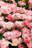 Tulipanowy fokstrot 1 Zdjęcia Stock