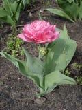 Tulipanowy 'fokstrot' (Dwoisty Wczesny tulipan) Fotografia Stock