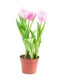 Tulipanowy garnek Zdjęcia Royalty Free