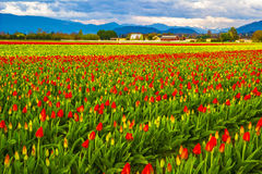Tulipanowy gospodarstwo rolne Obraz Stock