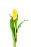 tulipanowy kolor żółty Fotografia Royalty Free
