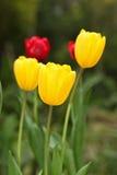 tulipanowy kolor żółty Zdjęcie Royalty Free