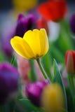 tulipanowy kolor żółty Obrazy Stock