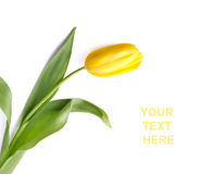 tulipanowy kolor żółty Zdjęcia Royalty Free