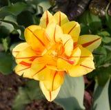 tulipanowy kolor żółty Obraz Stock