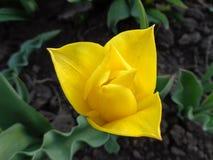 Tulipanowy kolor żółty Zdjęcia Stock