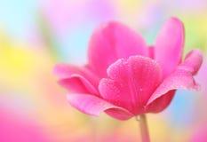 Tulipanowy kwiat Zdjęcia Stock