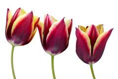 Tulipanowy kwiat Zdjęcie Royalty Free
