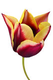 Tulipanowy kwiat Obraz Royalty Free