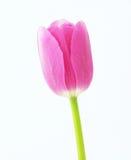 Tulipanowy kwiat Fotografia Stock