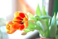 Tulipanowy kwiat dla karty lub sztandaru Zdjęcie Royalty Free