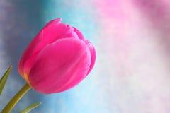 Tulipanowy kwiat: Matka dnia walentynek Akcyjne fotografie Obraz Stock