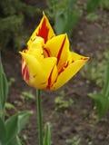 Tulipanowy kwiat 'Mona Lisa' (lampasy lub płomienie czerwień, żółty tło,) Zdjęcie Stock