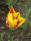 Tulipanowy kwiat 'Mona Lisa' (lampasy lub płomienie czerwień, żółty tło,) Fotografia Stock