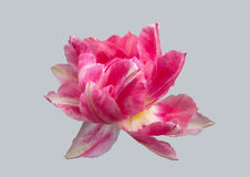 Tulipanowy kwiat na szarym tle Zdjęcie Royalty Free