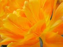 Tulipanowy kwiat - pomarańcz Akcyjne fotografie zdjęcia royalty free