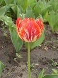 Tulipanowy kwiat 'Rembrandt' (czerwień i kolor żółty) Obraz Royalty Free
