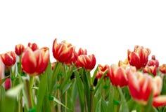 Tulipanowy kwiat w ogródzie: Odizolowywający na białym tle obraz stock