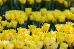 Tulipanowy kwiat w ogródzie z obiektywem zamazywał skutek jako przedpole i tło, niektóre i niektóre ono, z rzędu rozprzestrzeniam zdjęcia stock