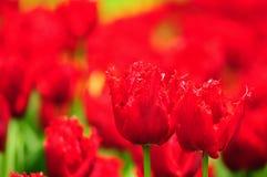 Tulipanowy kwiat w pełnym kwiacie Obraz Royalty Free