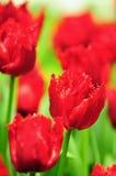 Tulipanowy kwiat w pełnym kwiacie Obrazy Royalty Free