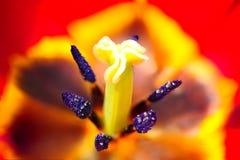 Tulipanowy kwiat w pełnym kwiacie Zdjęcie Royalty Free