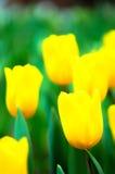 Tulipanowy kwiat w pełnym kwiacie Zdjęcia Stock