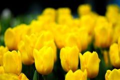 Tulipanowy kwiat w pełnym kwiacie Fotografia Royalty Free