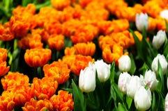 Tulipanowy kwiat w pełnym kwiacie Obraz Stock
