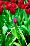 Tulipanowy kwiat w pełnym kwiacie Obrazy Stock