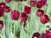 tulipanowy kwiat w zakończeniu up Zdjęcia Stock