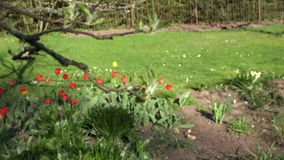 Tulipanowy kwiatu łóżko i rozwój jabłczanej owocowej gałąź leaf 4K zbiory