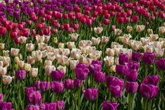 Tulipanowy kwiatu ogród w wiosna wzorze lub tle Zdjęcie Royalty Free