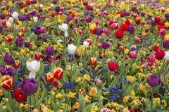 Tulipanowy kwiatu okwitnięcie Fotografia Royalty Free
