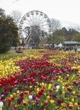 Tulipanowy kwiatu okwitnięcie Zdjęcia Stock