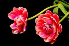 Tulipanowy Kwiecisty przygotowania Obrazy Royalty Free