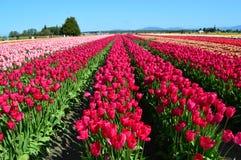 Tulipanowy miasteczko Obrazy Stock
