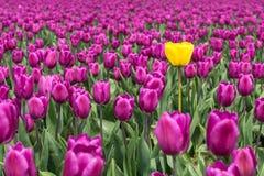 Tulipanowy okwitnięcie Zdjęcia Royalty Free