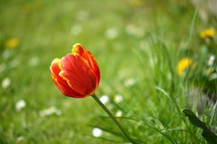Tulipanowy okwitnięcie Zdjęcie Royalty Free