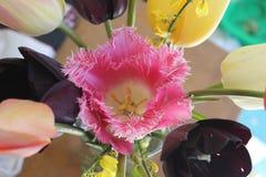 Tulipanowy okwitnięcie Obraz Stock