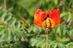 Tulipanowy Owocowy kwiat Obraz Stock