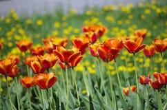 Tulipanowy piękno Zdjęcia Stock
