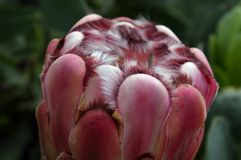 Tulipanowy Princess Protea Zdjęcia Stock