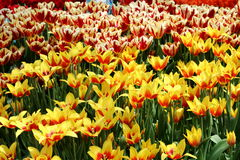 Tulipanowy Synaeda królewiątko 1 Zdjęcie Stock