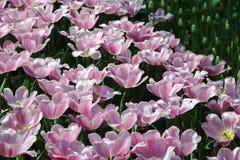 Tulipanowy Synead opancerzenie Obraz Royalty Free
