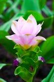 Tulipanowy Tajlandzki Kwiat Obraz Stock