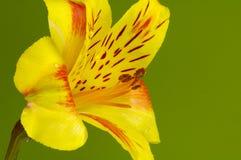 tulipanowy żółty Obrazy Royalty Free