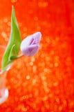 Tulipanowy wiosna kwiat na czerwieni i błyskotliwości Zdjęcie Stock